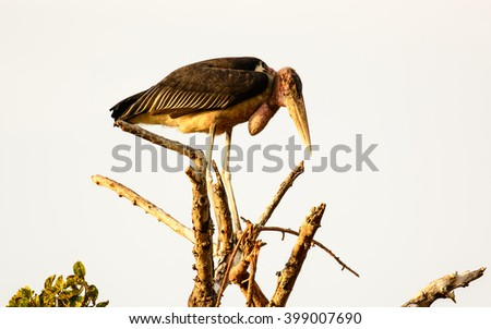 Marabou Stork standing precariously at the top of a tree