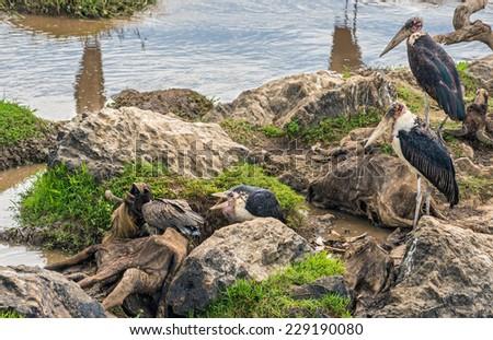 Marabou storks (Leptoptilos crumeniferus) and a White-backed vulture (Gyps africanus) on dead wildebeest at the Mara River, Kenya - stock photo