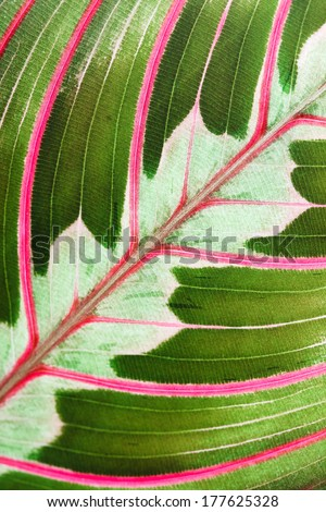 Maranta houseplant  - stock photo