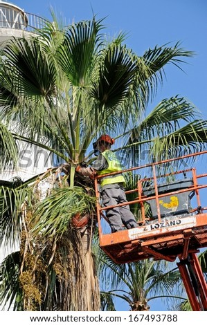 MARBELLA, SPAIN - SEPTEMBER 26, 2011 - Spanish workman trimming a Washington Palm along the promenade, Marbella, Costa del Sol, Malaga Province, Andalucia, Spain, Western Europe, September 26, 2011. - stock photo