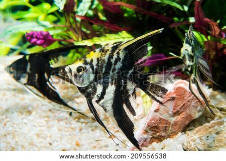 Marble angel fish - stock photo