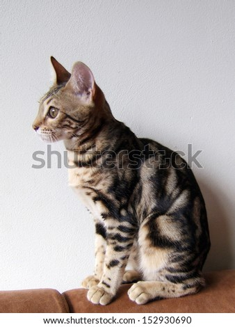 Marble bengal cat taken at home - stock photo