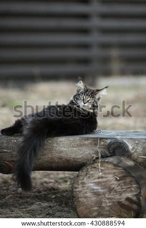 Marble maine coon kitten outdoor - stock photo