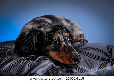 marble rate on a colored background, puppy