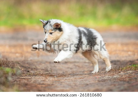 Marble rough collie puppy playing outdoors - stock photo