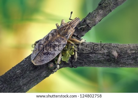 Marble weevil (Cyphocleonus dealbatus) - stock photo