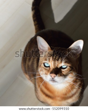 Marbled Bengal Cat with Green Eyes Close Up in the Sun with Shadows