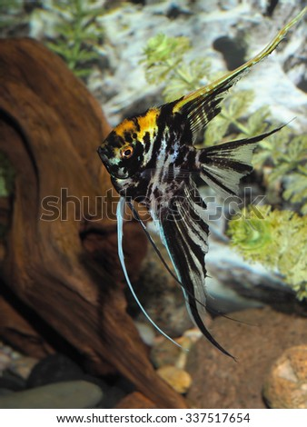 Marbled Black and Yellow Long Finned Angel Fish - stock photo