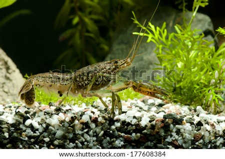 Marbled Cryfish aquarium crab - stock photo