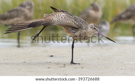 Marbled Godwit (Limosa fedoa) Stretching a Wing and Leg During a Migratory Stopover - Florida - stock photo