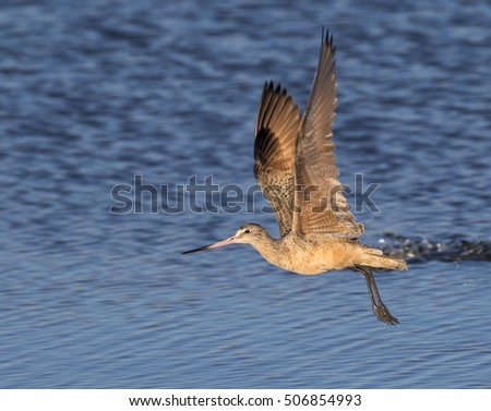 Marbled godwit (Limosa fedoa) taking off in the shallow water of tidal marsh, Galveston, Texas, USA