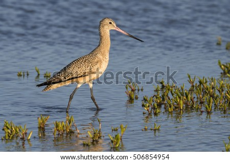 Marbled godwit (Limosa fedoa) wading in the shallow water of tidal marsh, Galveston, Texas, USA