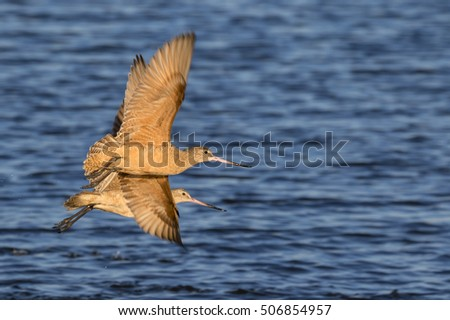 Marbled godwits (Limosa fedoa) flying over tidal marsh, Galveston, Texas, USA