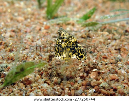 Marbled snake eel in sand burrow - stock photo