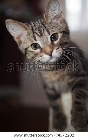 Marbled Tabby cat playing with a scratching toy - stock photo