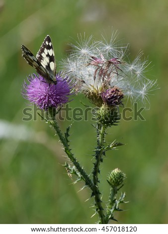 Marbled white butterfly (Melanargia galathea) sitting on Curly Plumeless Thistle (Carduus crispus)