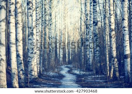 March landscape birch forest background - stock photo