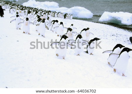March of the Penguins; Adelie penguins, moving down to the shoreline,[Pygoscelis adeliae]Brown Bluff,Antarctica - stock photo