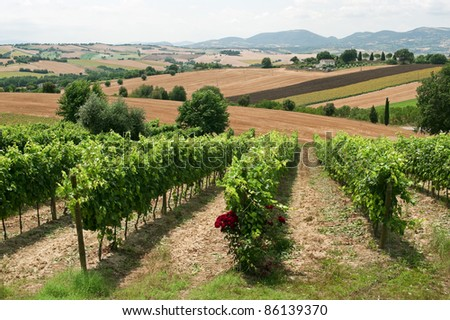 Marches (Italy), Landscape at summer with vineyards