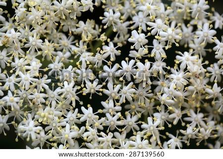 Marco photo of Black Elderberry flowers (Sambucus nigra). - stock photo