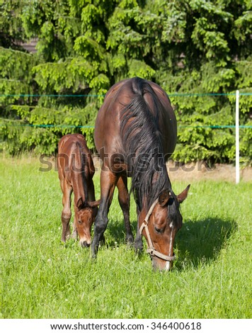 Mare and foal breed for sport on pasture - stock photo