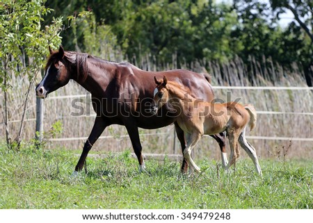 Mare and foal canter are together on meadow  - stock photo