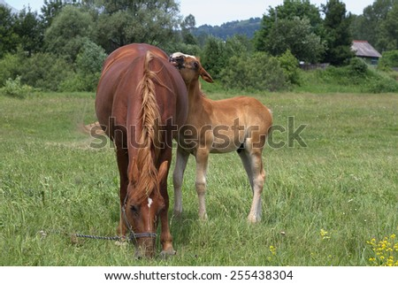 Mare and foal grazing in a meadow - stock photo