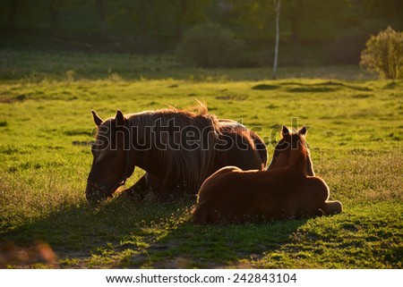 Mare and foal on meadow in the rays of the setting sun - stock photo