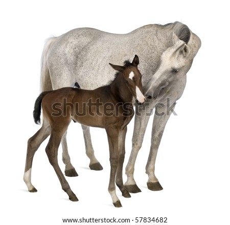 Mare and her foal, 14 years old and 20 days old, standing in front of white background - stock photo