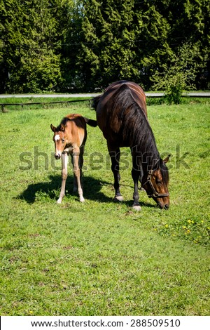 Mare Grazing and Filly grazing in a Meadow near Fort Langley British Columbia - stock photo