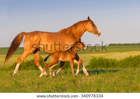 Mare run with colt in beautiful field at sunrise - stock photo