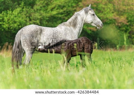 Mare with a foal grazing in the meadow. - stock photo