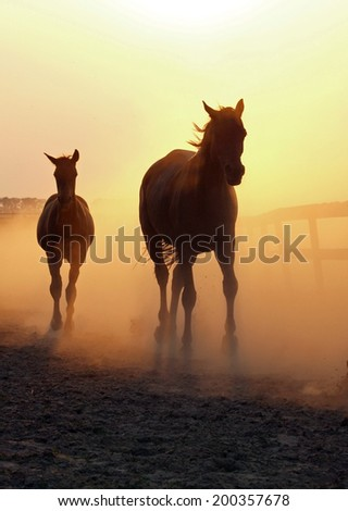 Mare with a foal return from a pasture in the clubs of dust of lighted up by an evening sun