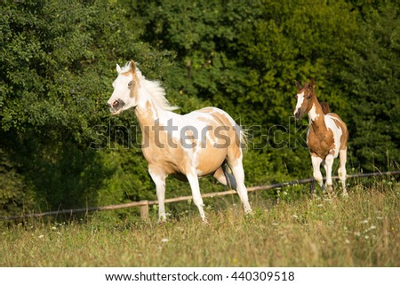 Mare with foal breed Paint Horse gallops pasture - stock photo