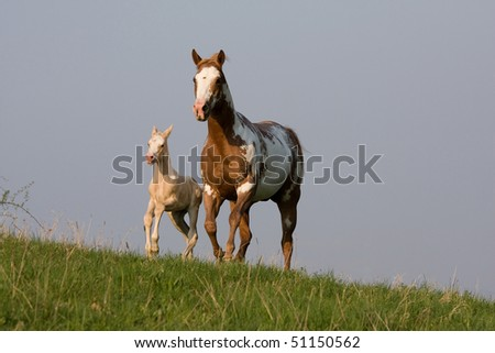 Mare with nice foal running - stock photo