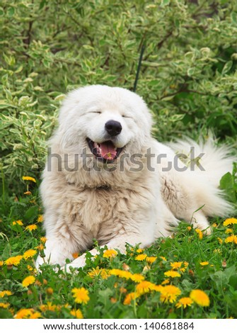 Maremma or Abruzzese patrol smiling dog Portrait on the grass among dandelions in the garden - stock photo