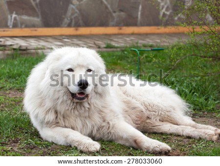 Maremma or Abruzzese white patrol dog lying on the ground in the garden, spring