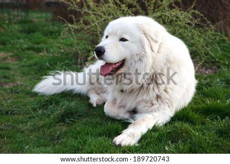 Maremma or Abruzzese white patrol dog standing on the grass in the garden, spring