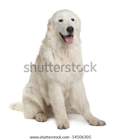 Maremma Sheepdog, 7 Months Old, sitting in front of white background