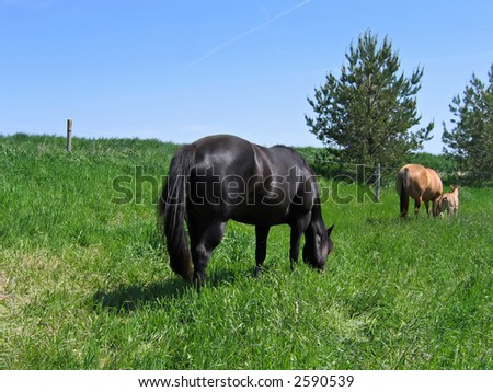 Mares and a foal grazing in a pasture on a spring day - stock photo