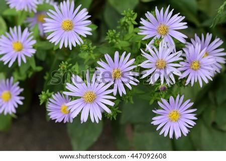 Margaret flowers in the garden. - stock photo