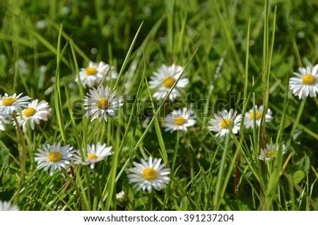 marguerita field - stock photo