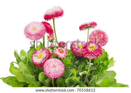 Marguerite, garden daisy, bellis - stock photo
