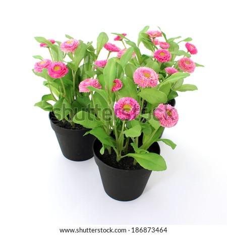 Marguerite, garden daisy, bellis isolated ob white - stock photo