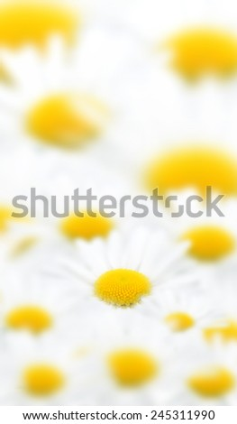 Marguerite image - stock photo