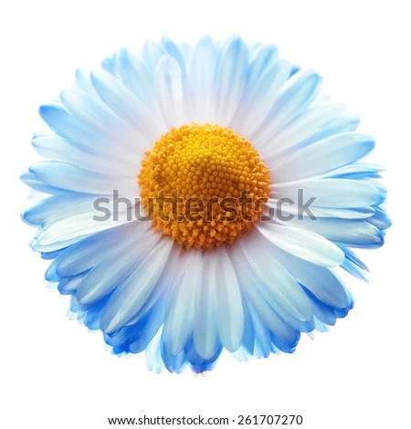 Marguerite isolated on white, top view - stock photo