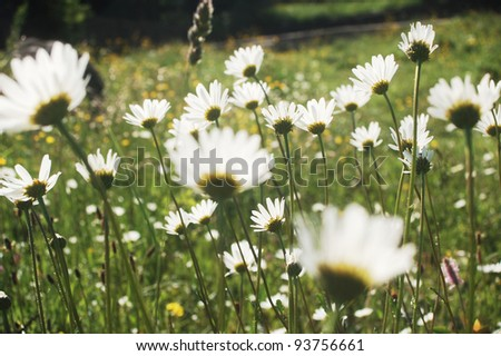marguerite meadow growing on a pasture in the Carpathian mountains, Romania