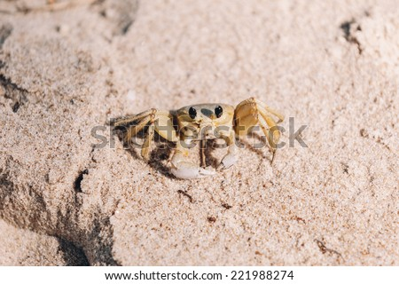 "Maria Farinha crab, also known as the Atlantic ghost crab (Ocypode quadrata) is a species of ghost crab, once described as an ""occult, secretive alien from the ancient depths of the sea"". - stock photo"