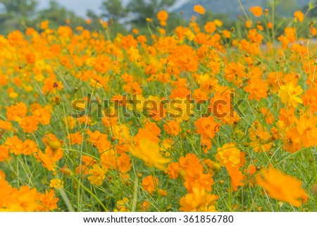 Marigold and Cosmos flowers in the meadow.