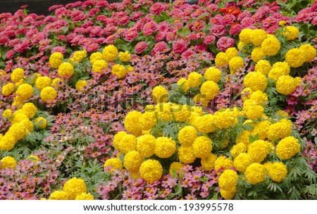 Marigold at the Garden - stock photo